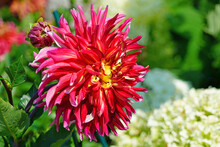 Pink And Yellow Spider Dahlia ...