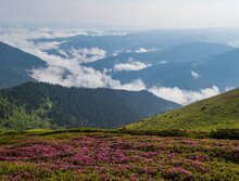 Pink Rose Rhododendron Flowers On Misty And Cloudy Morning Summer Mountain Slope. Marmaros Pip Ivan Mountain, Carpathian, Ukraine.