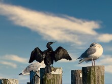 Pelagic Cormorant (Phalacrocor...