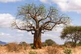 Fototapeta Sawanna - A large African baobab tree (Adansonia digitata) in open savannah on a sunny morning, Kenya, East Africa