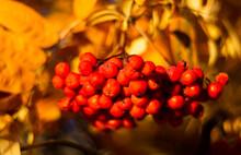 Yellow Autumn Leaves Of Mounta...
