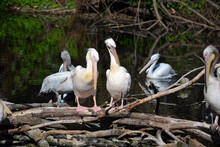 A Group Of Five Pelicans Rest ...