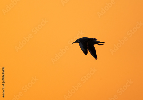 Silhouette of a gull in flight at Asker marsh, Bahrain Canvas