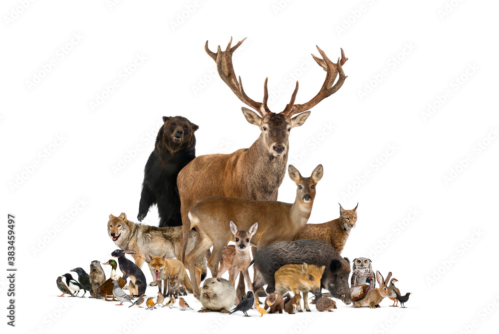 Fototapeta Large group of european animals, red deer, red fox, bird, rodent, wild boar, isolated