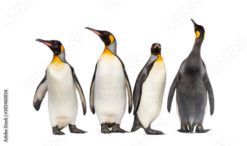 Foto Colony of king penguins together, isolated on white