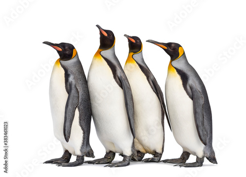 Fotografiet Colony of king penguins together, isolated on white