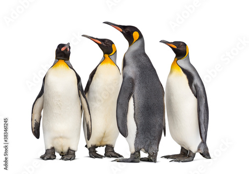Colony of king penguins together, isolated on white Fototapet