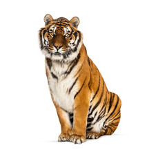 Tiger Sitting Staring At He Camera, Isolated On White