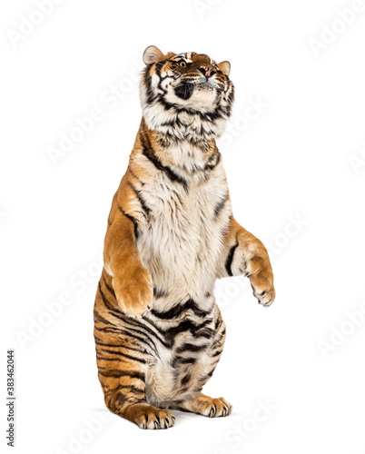 Fotografie, Tablou Tiger on hind legs, isolated on white