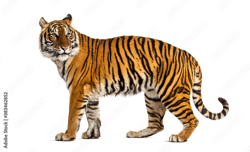 Fototapeta Side view, profile of a tiger standing, isolated on white