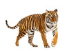 Side view of a Tiger walking away, isolated on white