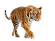 canvas print picture - Tiger prowling and approaching, isolated