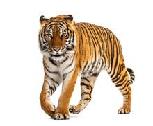 Tiger Prowling, Approaching An...