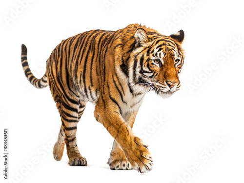 Tiger prowling and approaching, isolated - 383463611