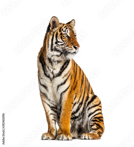 Tiger sitting, isolated on white