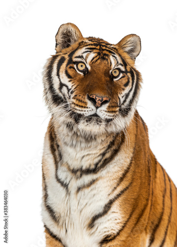 Tiger's head portrait, close-up, isolated on white