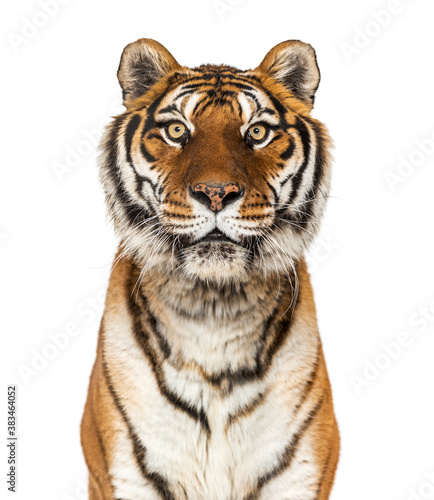 Close up on a head of a Tiger staring at the camera