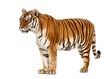 Side view, profile of a tiger standing, isolated on white