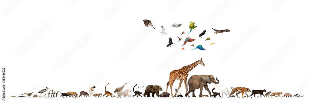 Fototapeta Somali Giraffe