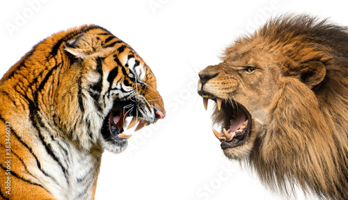 Stampa su Tela Side view of a lion and a tiger roaring ready to fight, isolated