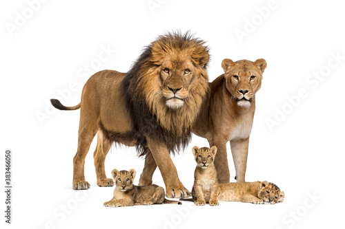 Fototapeta Family of lion, adult and cub, isolated. Wild cat