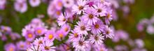 Autumn Flowers Aster Novi-belgii Vibrant Light Purple Color In Full Bloom In The Garden. Banner