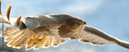 Cuadros en Lienzo Common buzzard. Bird of prey in flight, flying bird. Buteo buteo