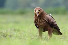 Lesser Spotted Eagle, Bird Of Prey. Clanga Pomarina