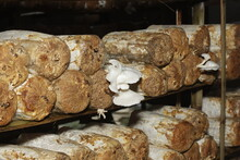 Pile Of Oyster Mushroom Log Media, Media That Is Ready To Grow Oyster Mushrooms, Neatly Arranged On A Wooden Shelf.