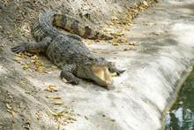 A Crocodile Lie On The Floor W...