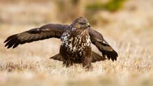 Common Buzzard, Buteo Buteo, L...
