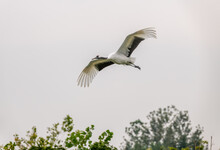 A Red-crowned Crane Flying Ove...