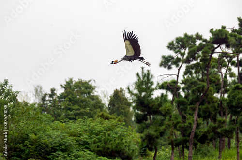 Fototapeta premium A crowned crane flying over forest