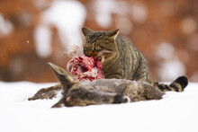 Hungry European Wildcat, Felis...