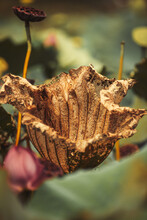 Withered Lotus Seedpod And Leaf
