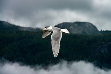 European Herring Gull Flying Mid Air In Sky