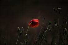 Wild Poppy Growing, Last One S...