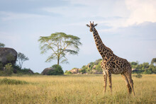 Horizontal Portrait Of An Adult Female Giraffe Standing In Serengeti National Park In Tanzania