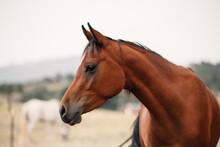 Profile Of Arabian Horse In A ...