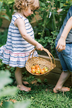 Two Little Kids Looking For Ripe Tomatoes In The Garden
