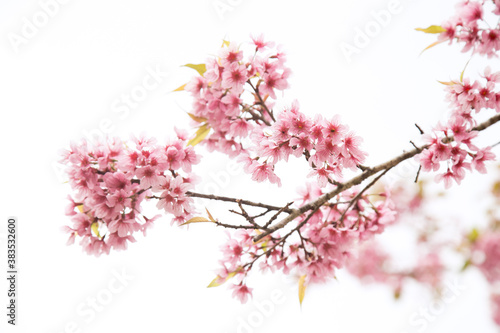 Beautiful cherry blossom or sakura in spring time over  sky Fototapete