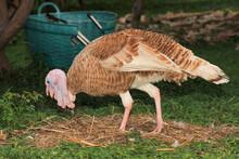 Brown Turkey Eat Grass In Garden