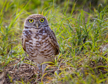Burrowing Owls, With Bright Yellow Eyes, Are Rare And Protected In Florida.