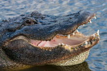 Florida Alligator Opens Mouth ...