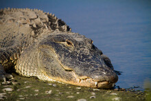 Large Bull Alligator Soaks Up ...
