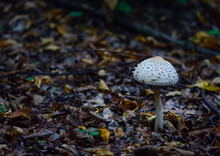 Mushroom In Autumn Forest And Dry Leaves Close Up