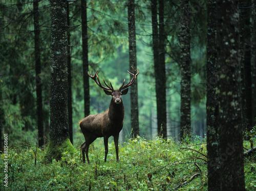 Obraz na plátně Red deer stag in forest