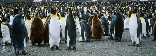 Large colony of Penguins Fototapete