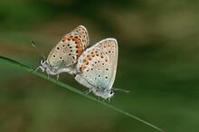 Two Common Buckeye Butterflies...