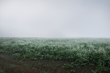 Green Field With White Bloomin...